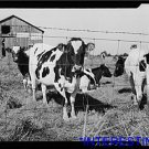 *NEW* Antique Cows Photograph: Detroit (Vicinity), Michigan, Guernsey Cows Farm