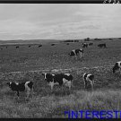 *NEW* Antique Cows Photograph:Large: Dairy Cows, Laramie, Wyoming, Grazing B&W