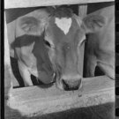 *NEW* Antique Cows Photograph:Large: Dairy Cow, Casa Grande Valley, Pinal Cty AZ