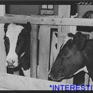 *NEW* Antique Cows Photograph:Large: Dairymans, Creamery, Caldwell Canyon,Idaho