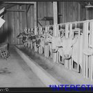 *NEW* Antique Cows Photograph:Large: Stanchions, Dairy, Dick Project, Arkansas
