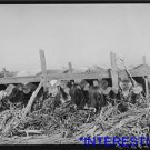 *NEW* Antique Cows Photograph:Large: Feeding, Dairy, San Angelo, Texas