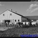 *NEW* Antique Cows Photograph:Large: Entering Barn to be Milked, Farm Security A