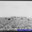 *NEW* Antique Cows Photograph:Large: Mechanical Corn Picker, Grundy County,Iowa