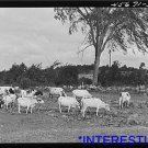 *NEW* Antique Cows Photograph:Large: Fairfield, Vermont, William Gaynor Farmer