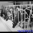 *NEW* Antique Cows Photograph:Large: Milking,Two River Non-Stock Cooperative FSA