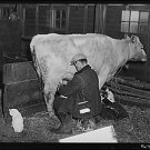 *NEW* Antique Cow Photograph:Various Sizes:Mr Sawer Milking Cow