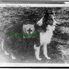 1909 WORLD WAR ONE -RED CROSS COLLIE DOG (8.5x11) ANTIQUE DOG RP PHOTOGRAPH