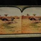 ORIGINAL STEREOVIEW ANTIQUE CARD ART: OSTRICH FARM, CAIRO, EGYPT, AFRICA