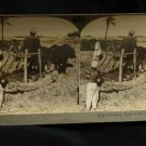 ORIGINAL STEREOVIEW ANTIQUE CARD ART: THRESHING BEANS, FIELD, EGYPT, AFRICA