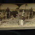 ORIGINAL STEREOVIEW ANTIQUE CARD ART: THRESHING BEANS, FIELD, EGYPT, AFRICA