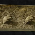 ORIGINAL STEREOVIEW ANTIQUE CARD ART: KEYSTONE: GROUND HOG ANIMAL, STICK