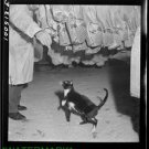 Antique-RP-Cat Photo:(8X10) Cat born in Cold Room, Wash D.C., Grocery Store,Meat