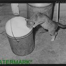 Antique-rp-Cat Photo:(8X10) cat drinks fresh milk, Canyon County, Idaho, farm