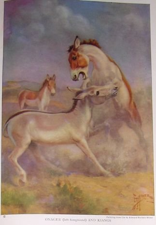1923 ONAGER-KIANGS HORSE PRINT by EDWARD H MINER Pl-5