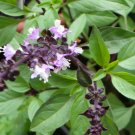 Thai Sweet Basil 600 seeds Heirloom Thai native vegetable