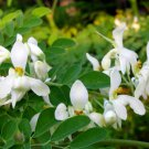 Nebedaye (a.k.a. Moringa) - Leaf Powder