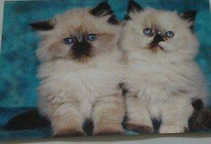 Cute Kittens kitty cats 4x6 photo card 2 Animals