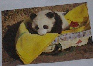 Cute Panda bear in a Basket 4x6 glossy photo card Animals