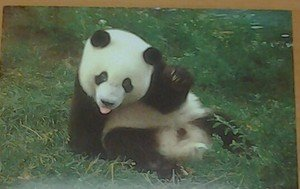Cute Panda bear Says Hello 4x6 glossy photo card Animals
