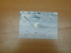 Cute Harp Seal 4x6 photo card Animals Frolicking in Nature