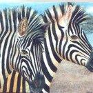 ACEO PRINT - Zebras by Patricia Ann Rizzo