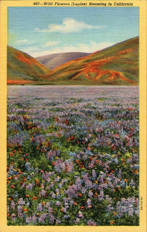 "Scenic- C.T. Art ""Wild Flowers (Lupine) Blooming in California"" Linen Postcard"