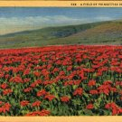 "Scenic- C.T. Art ""A Field of Poinsettias in California"" Linen Postcard"