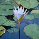 Flowering Water Lily #1: Photograph taken in Gainesville, Florida, 2008
