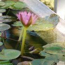 Flowering Water Lily #3: Photograph taken in Gainesville, Florida, 2008