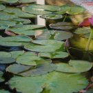 Flowering Water Lily #5: Photograph Taken in Gainesville, Florida, 2008