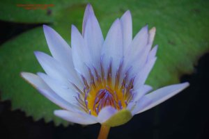 Flowering Lily Pad #11: Photograph Taken in Gainesville, Florida, 2008