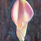 Pink Calla Lily- reproduction print 5 x 7 inches