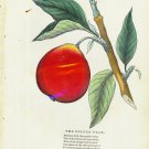 1843 Lithograph Print - The Golden Pear - Fruit - RARE Antique Art Print