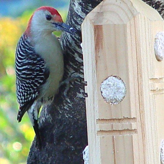 Pine Suet Plug Post Feeder + FREE US SHIPPING