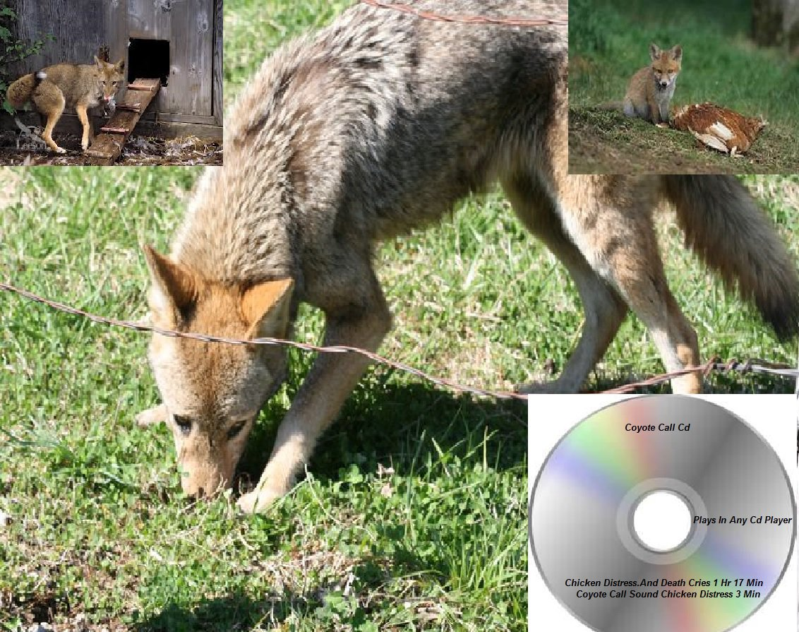 Coyote Hunting Call Cd Chicken Distress Calls