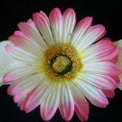 Light Pink Gerber Daisy