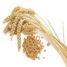 5 LBs of Winter Wheat Seed - Deer Turkey Wildlife Food Plot - Quick Food Plot