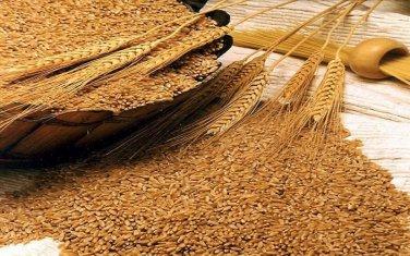 10 LBs of Winter Wheat Seed - Deer Turkey Wildlife Food Plot - Quick Food Plot
