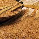 18 LBs of Winter Wheat Seed - Deer Turkey Wildlife Food Plot - Quick Food Plot