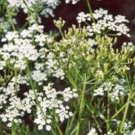 CARRAWAY, HERB 100+ SEEDS ORGANIC, CAN USE SEEDS, PLANT AND ROOTS ON THIS HERB