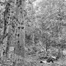 New 5x7 Civil War Photo: Bullet-Ridden Trees after Battle of Gettysburg