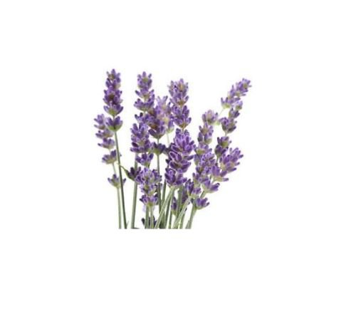 PURE Undiluted LAVENDER FRENCH Essential OIL 3.7ml EOs