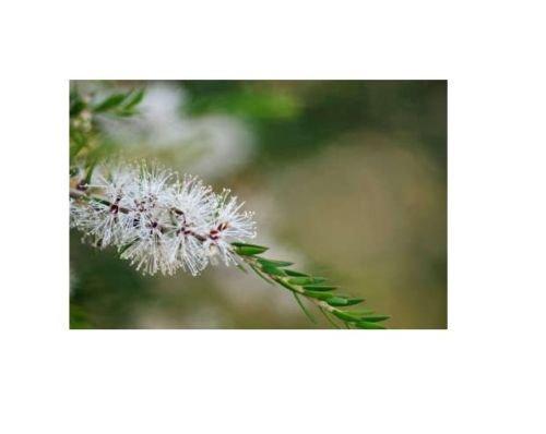PURE Undiluted TEA TREE Essential OIL 3.7ml MELALEUCA