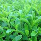 Stevia Rebaudiana Seeds Natural Sweetener