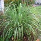 Lemon Grass Seeds - Cymbopogon Flexuosus Ornamental Grass Seeds