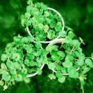 Gotu kola Seeds -Centella Asiatica Medicinal Herb