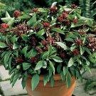 Thai Siam Queen Basil  Seeds Herbs