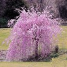 Pink Fountain Weeping Cherry Tree Seeds