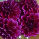 Boogie Nights Dahlia Seeds